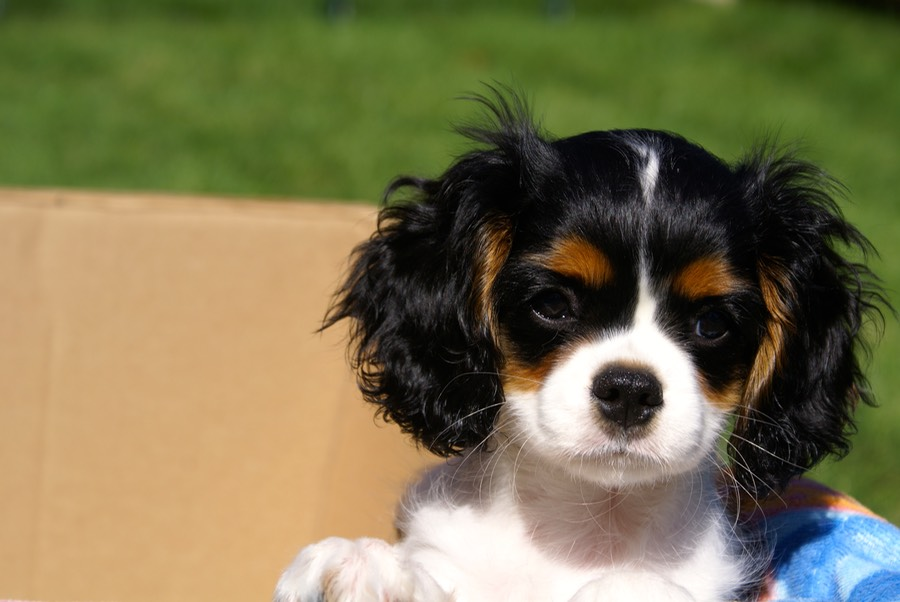 2015-09-24 Puppies Carly in a box